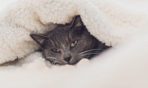 Allergie dei gatti: cosa sono, sintomi, dermatiti