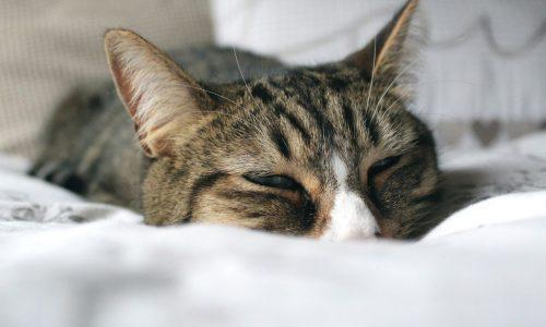 FIP: cos'è la Peritonite Infettiva Felina