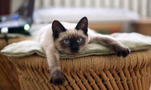 Ipertiroidismo gatto: cause, sintomi, terapia, vaccino