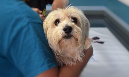 Anaplasmosi o Anaplasma del cane: cause, sintomi, rimedi