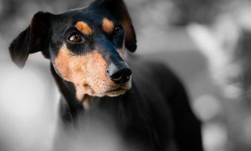 Ehrlichia o Erlichiosi Canina: cause, sintomi, terapia, vaccino