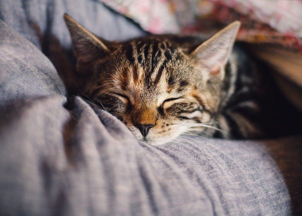 Filaria-filariosi gatto