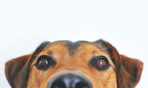 Cosa sono i vermi intestinali nei cani
