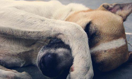 Epilessia del cane o canina: cos'è, sintomi, cause, cura, cosa fare, a chi rivolgersi