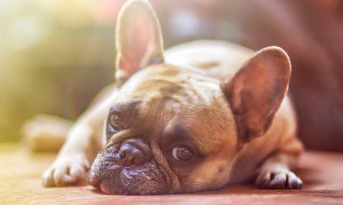 Cos'è la dermatite nel cane