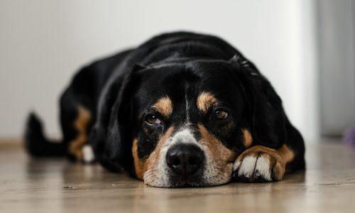 Temperatura cane: qual è quella giusta, come si misura, cosa fare quando sale