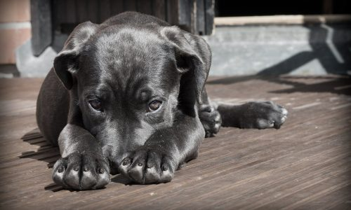 Cisti cane: cosa sono