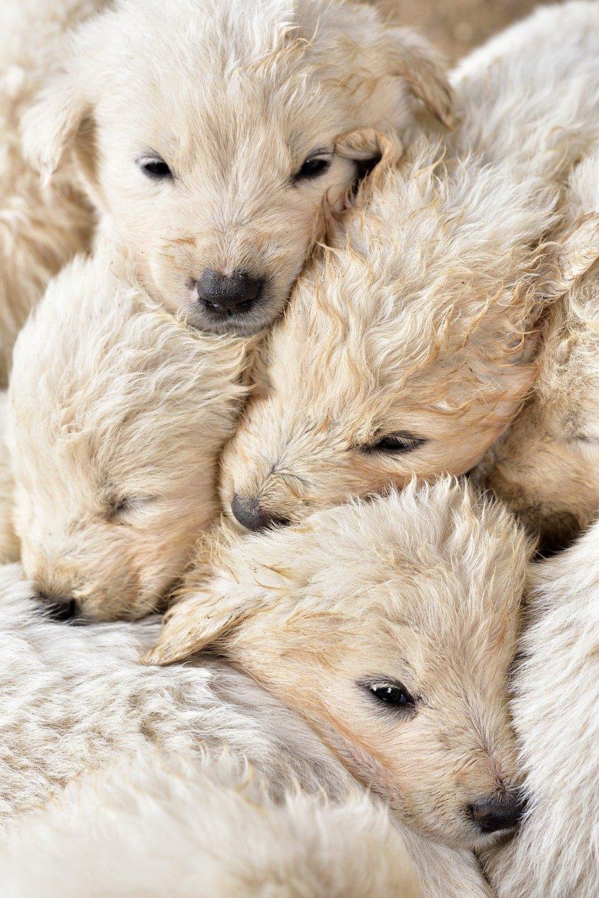 gravidanza cane