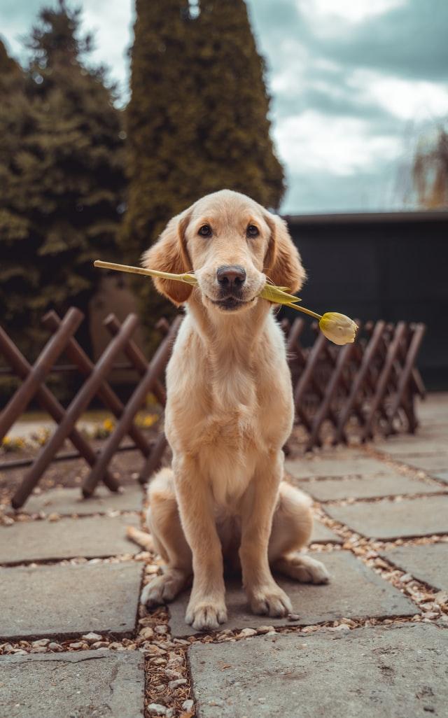 Gravidanza isterica cane