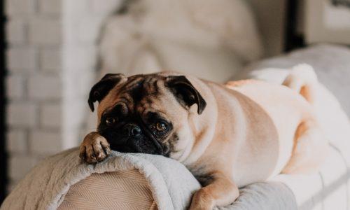 Gravidanza isterica o falsa gravidanza del cane: sintomi, cause, cure, rimedi, prevenzione