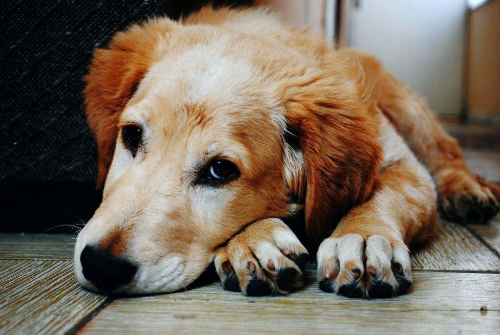 Vermi cani cura
