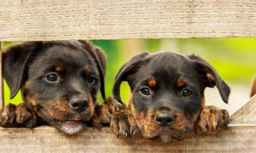 Cos'è l'ascaridiosi o ascaridi nel cane