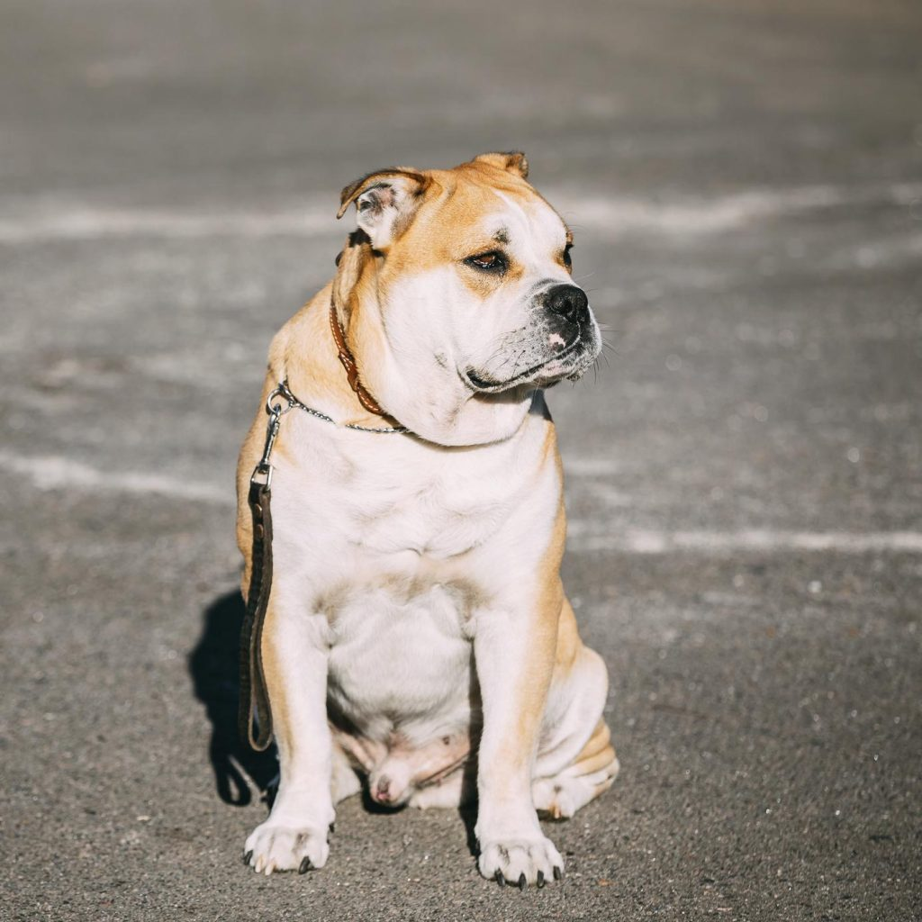 Cane Mastino di Maiorca