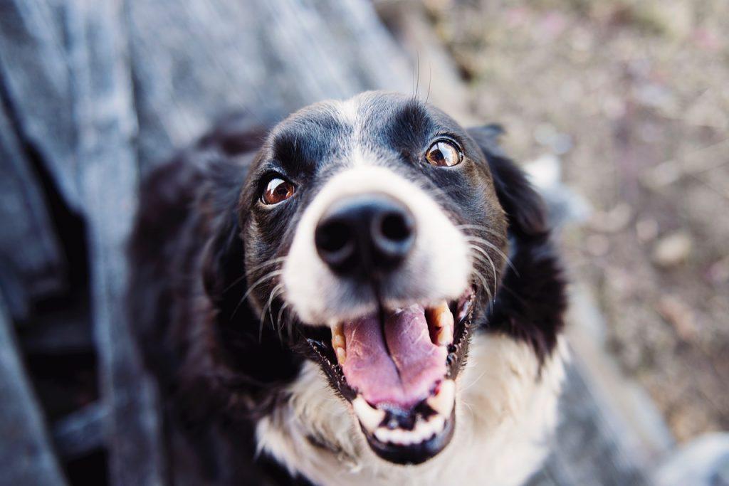 Dentatura del cane