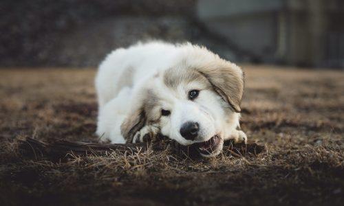 Quanti e quali sono i denti del cane