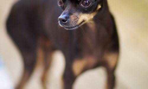 Toy Russo – Russkiy toy – Russian Toy Terrier