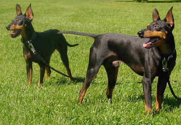 Black and Tan Toy Terrier