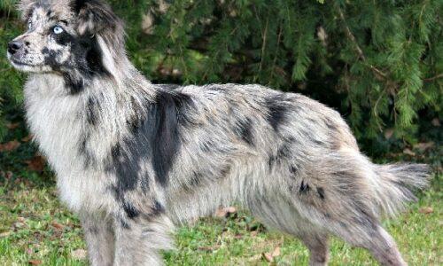 Cane da Pastore dei Pirenei a Faccia Rasa