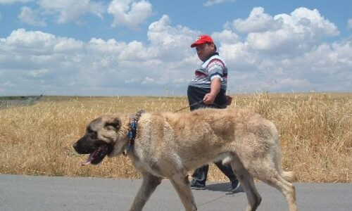 Cane da Pastore dell'Anatolia