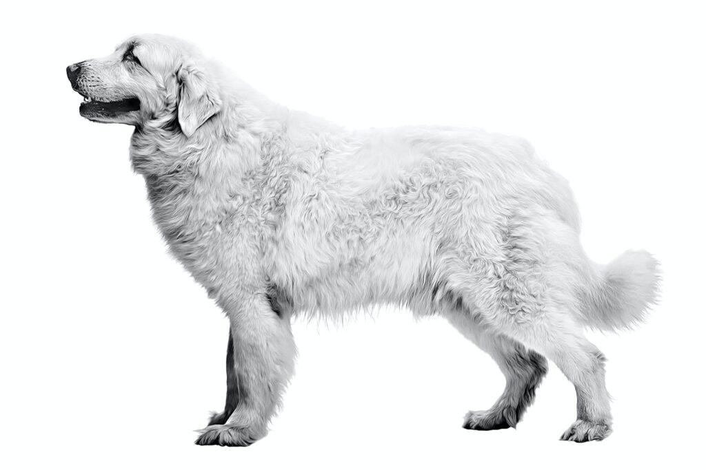 Cane da Pastore di Tatra