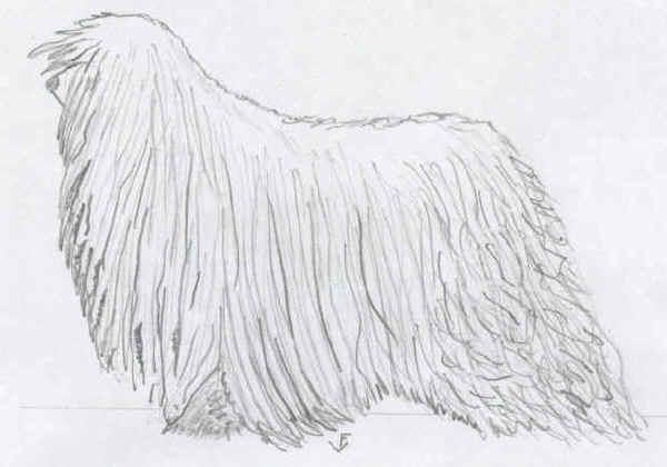 Cane da Pastore Ungherese Lompos