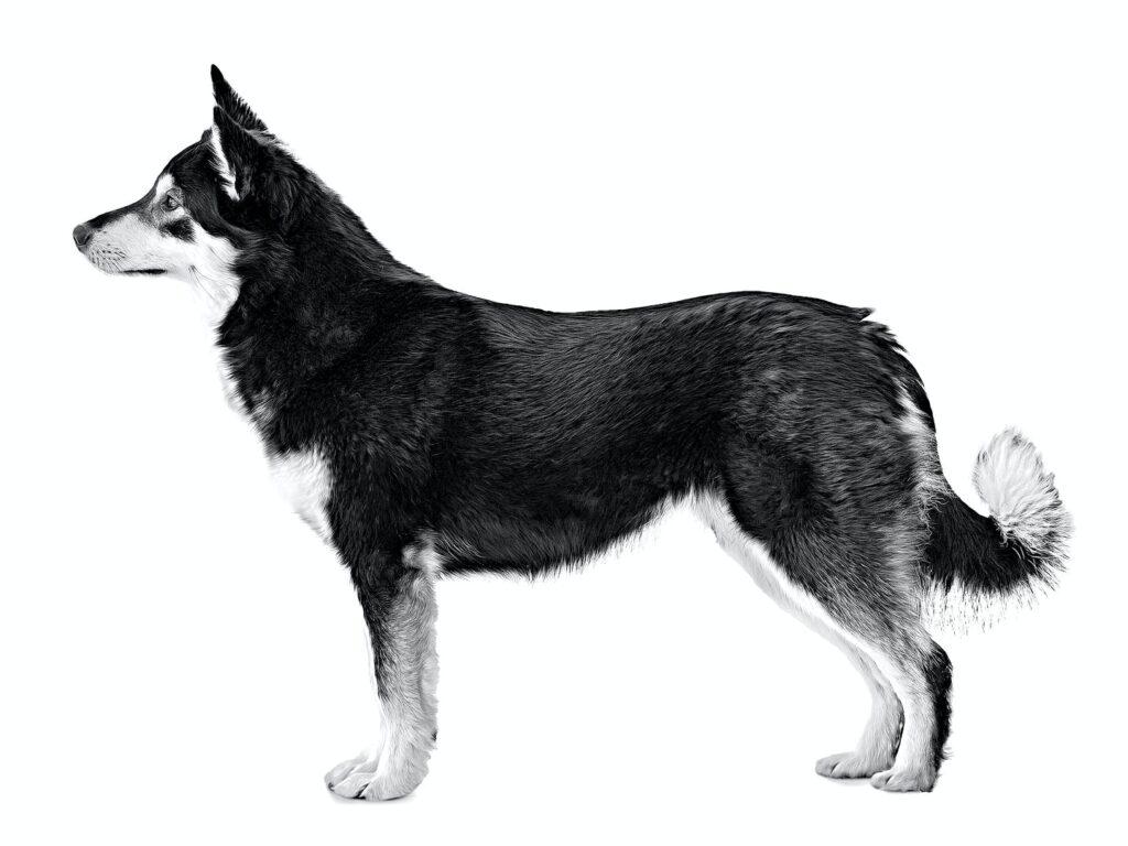 Cane da Renne della Lapponia