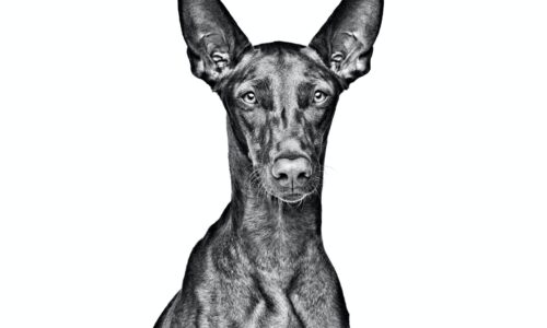 Cane dei Faraoni