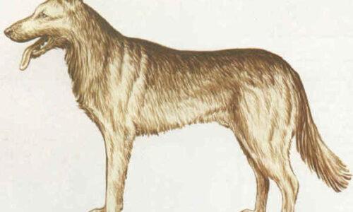Cane della Cabilia – Pastore Algerino