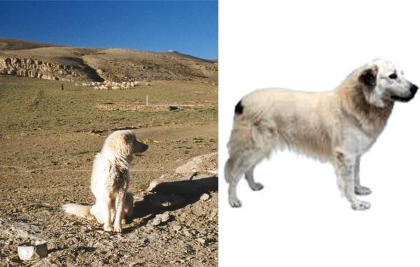 Cane dell'Atlas