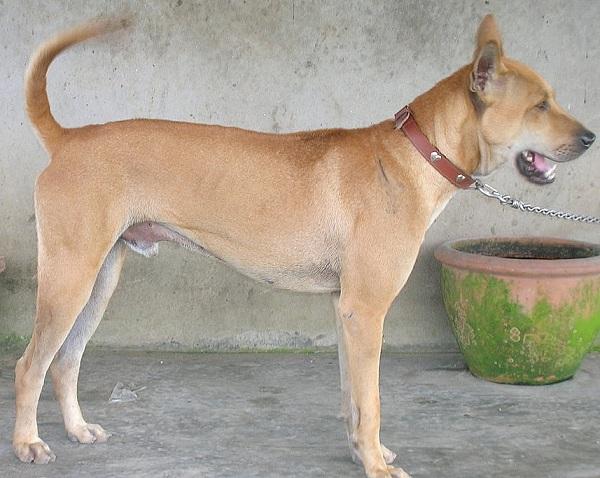 Cane dell'Isola di Phu Quoc