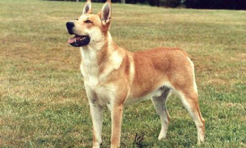 Carolina Dog