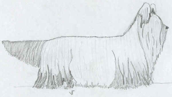 Clydesdale Terrier