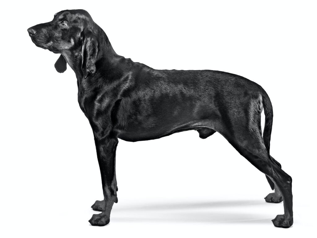 Coonhound Noir et Feu