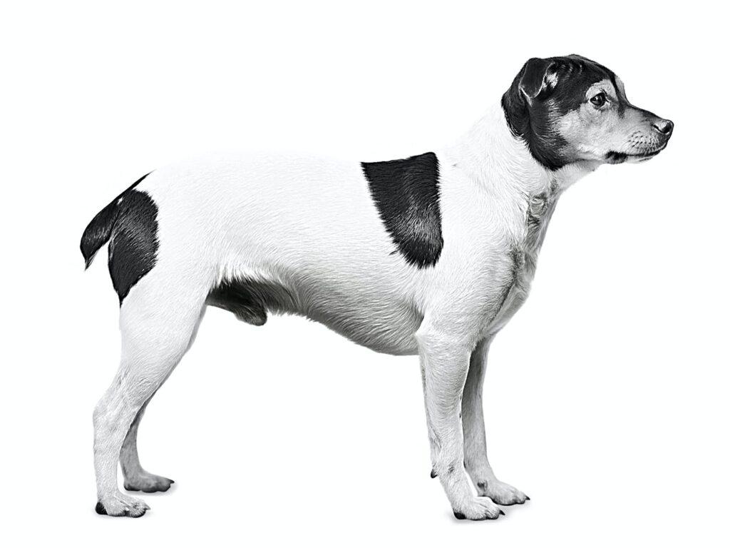 Danish-Swedish Farmdog – Cane da Fattoria Danese-Svedese