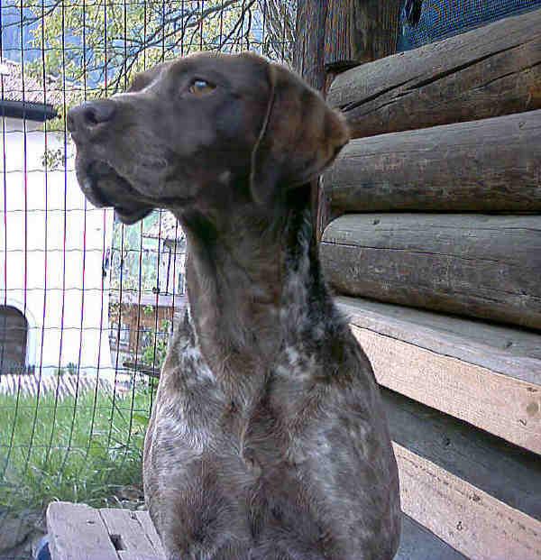 Deutscher Kurzhaar – Cane da ferma Tedesco a pelo corto