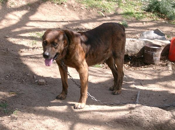 Dogo Sardo – Cani pertiatzu