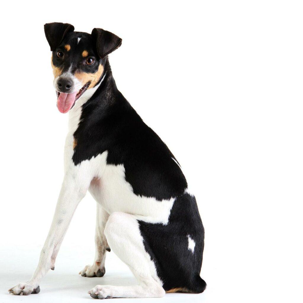 Fox Paulistinha o Terrier Brazileiro