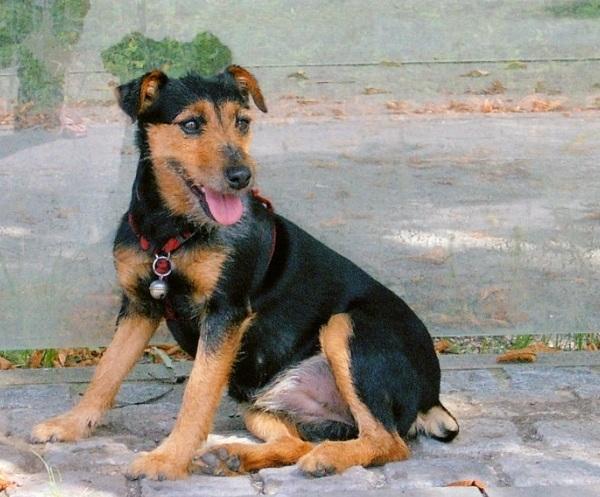 German Hunting Terrier
