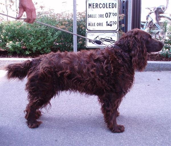 German Spaniel – Deutscher Wachtelhund
