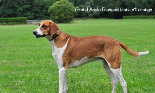 Grand Anglo-Français Blanc et Orange