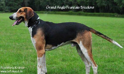 Grand Anglo-Français Tricolore