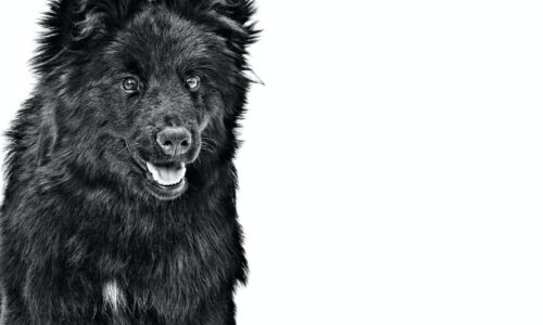 Lapphund