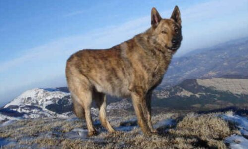 Luvin o Cane Lupino del Gigante