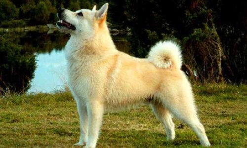 Norsk Buhund