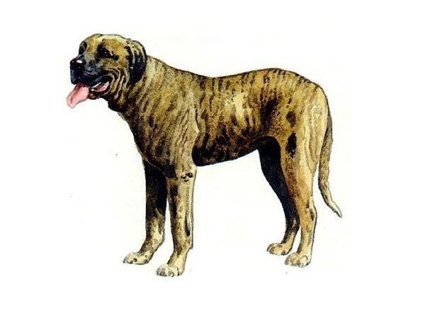Rastreador Brasileiro – Cane da traccia brasiliano