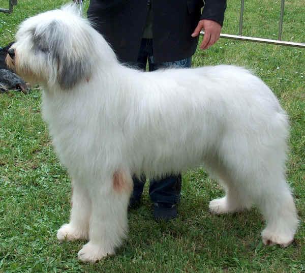 Romanian Mioritic Sheperd Dog