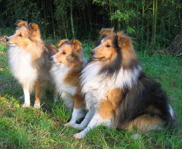 Shetland Sheepdog – Pastore delle Shetland