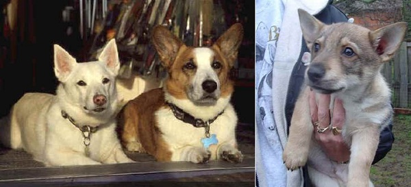Swedish Vallhund – Vastgotaspets
