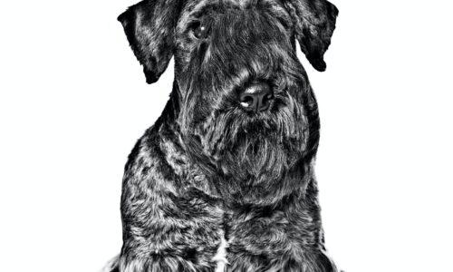 Terrier Boemo