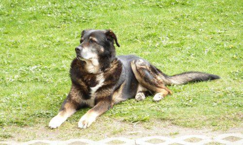 Torsione stomaco cane: cos'è, come si manifesta, razze a rischio, cause, cura, prevenzione